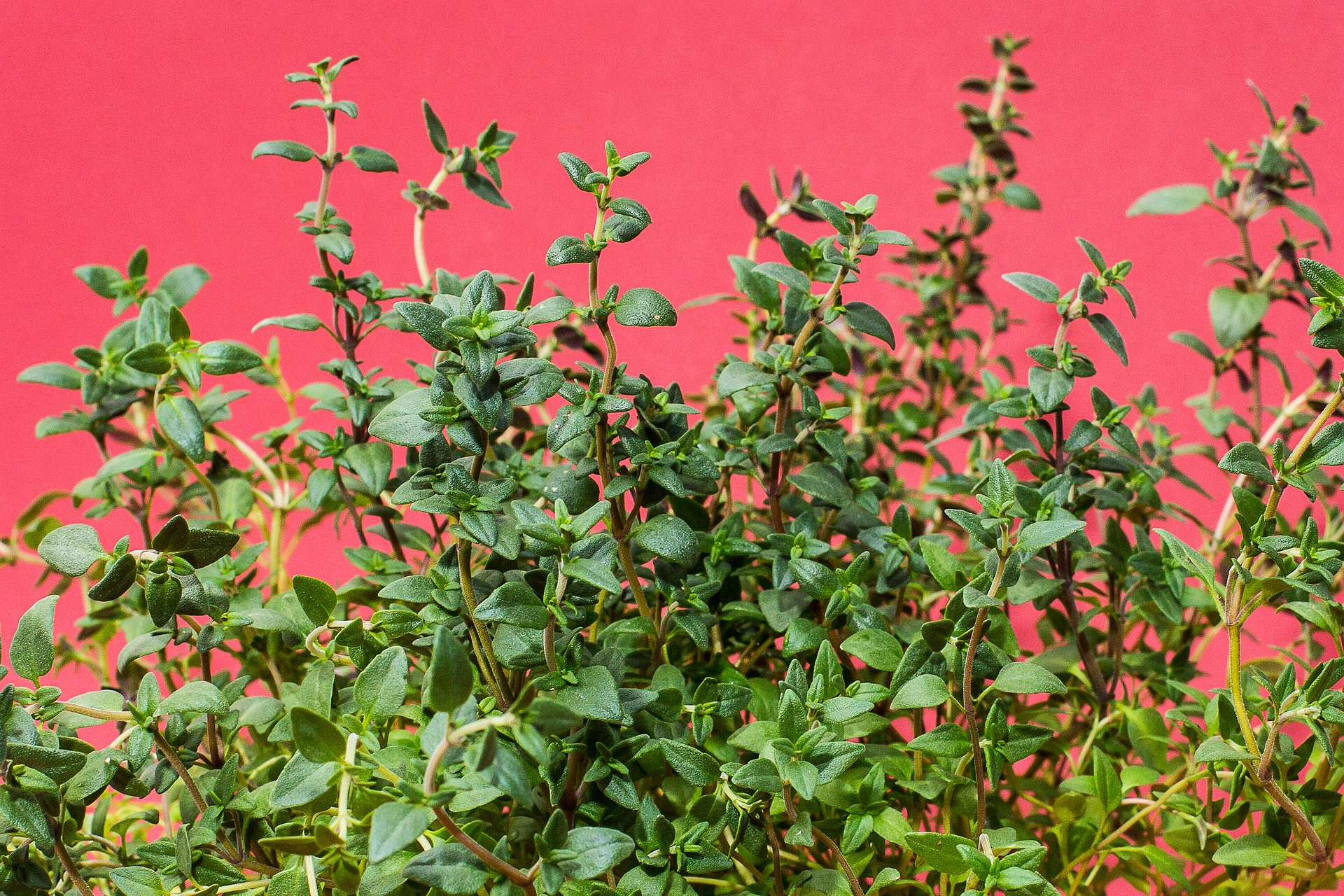 Thyme: The almost forgotten herb