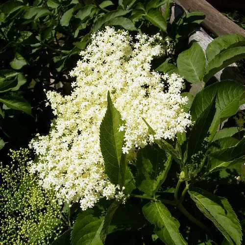 The healing power of the elderflower and berry