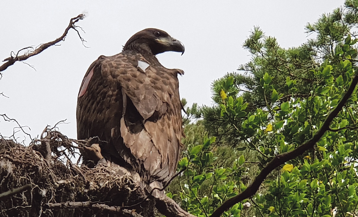 Public invited to name  Glengarriff eagle chick
