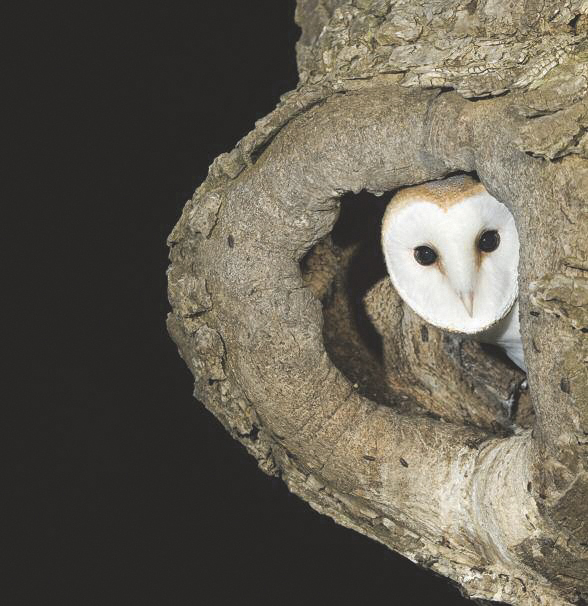 Barn owls in County Cork