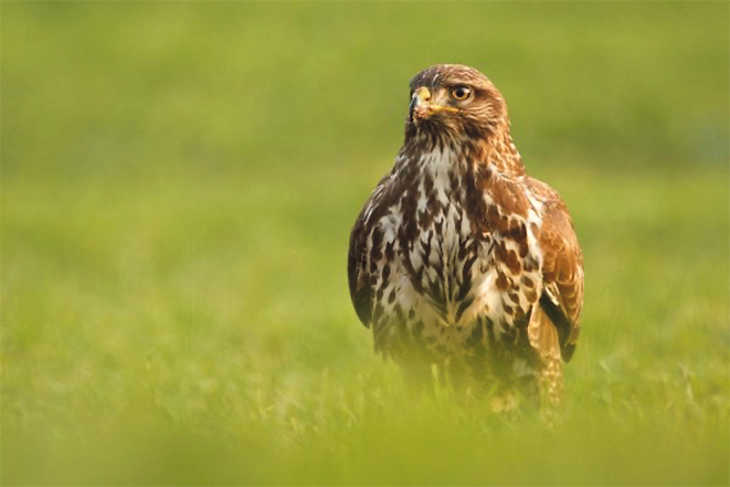 Listen for the call of the common buzzard