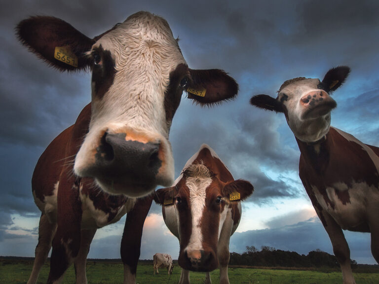 To cow or not to cow: That is the question