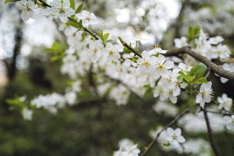 The blossom of the Hawthorn