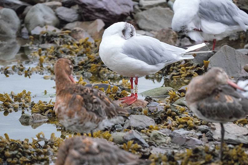 Colour leg rings provide insight into behaviour of Black-tailed Godwits