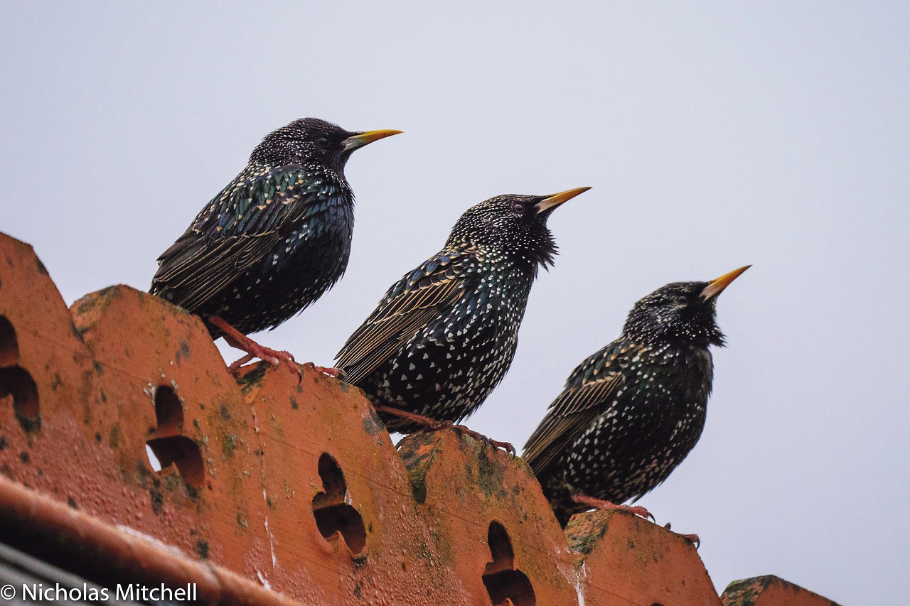 The wonder that is the Common Starling